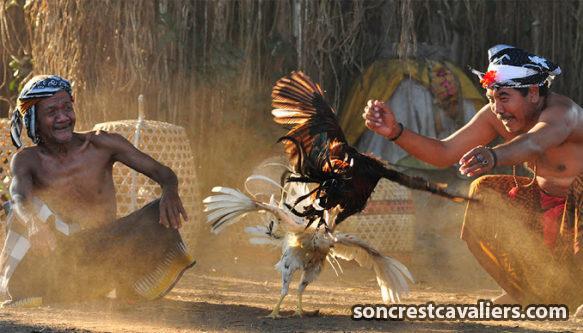 Trik-Cara-Menang-Hoki-Di-Judi-Ayam-Online